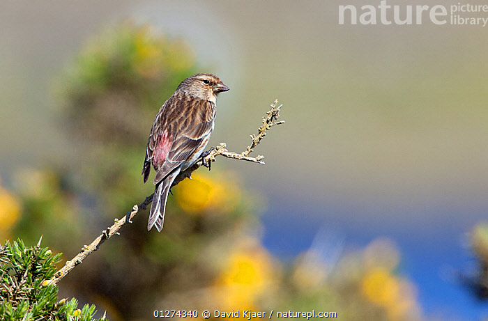 Male Twite (Carduelis flavirostris) perched, North Uist, Outer Hebrides, Scotland, May  ,  BIRDS,EUROPE,FINCHES,MALES,UK,VERTEBRATES, United Kingdom  ,  David Kjaer