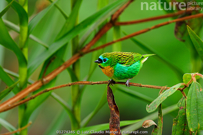 Brassy-breasted tanager (Tangara desmaresti) perched on twig, Atlantic Rainforest of Serrinha do Alambari Environmental Protection Area, Resende, Rio de Janeiro State, Brazil  ,  BIRDS,BRAZIL,COLOURFUL,GREEN,RESERVE,SOUTH AMERICA,TANAGERS,VERTEBRATES  ,  Luiz Claudio Marigo