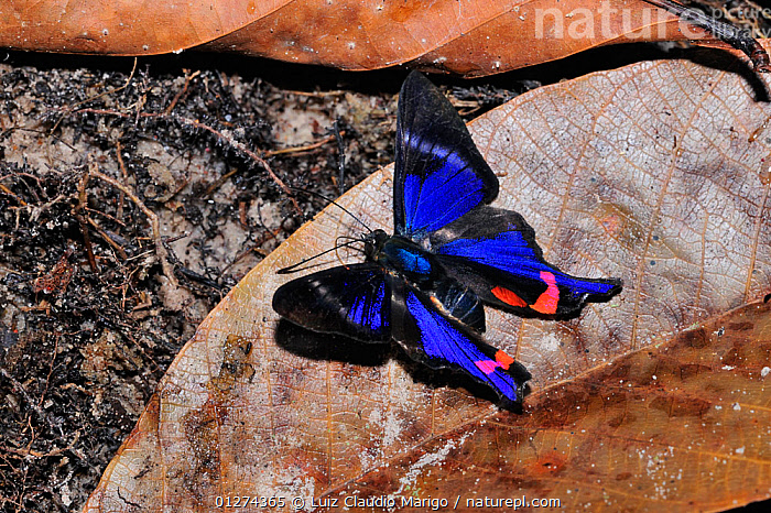 Periander metalmark / Periander swordtail butterfly (Rhetus periander) sucking water with mineral salts from the ground on the margin of Cristalino River, Alta Floresta, Mato Grosso State, Brazil.  ,  BLUE, Brazil, BUTTERFLIES, COLOURFUL, INSECTS, INVERTEBRATES, LEPIDOPTERA, SOUTH-AMERICA, TROPICAL-RAINFOREST  ,  Luiz Claudio Marigo