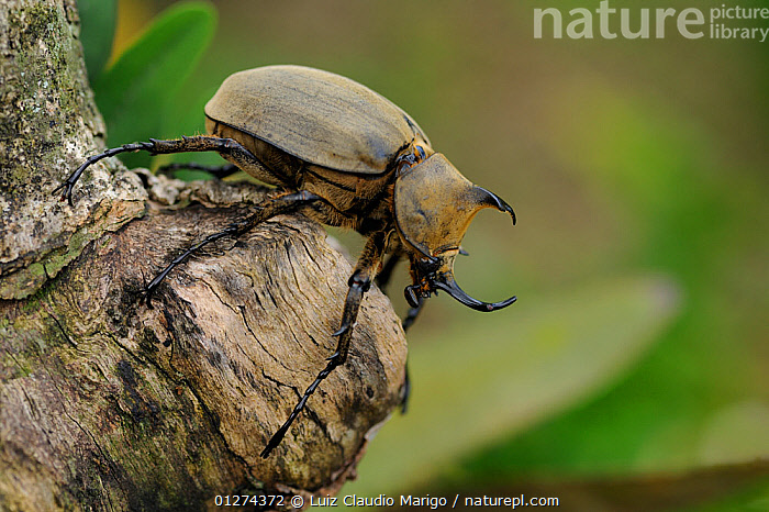 Rhinoceros Beetle (Megasoma elephas) in the Atlantic Rainforest of Itatiaia National Park,  Rio de Janeiro State, Brazil.  ,  BEETLES,BRAZIL,COLEOPTERA,INSECTS,INVERTEBRATES,LARGE,NP,RESERVE,SCARAB BEETLES,SIZE,SOUTH AMERICA,National Park  ,  Luiz Claudio Marigo