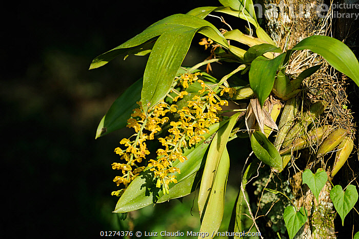 Epiphytic orchid (Gomesa sp) in the Atlantic rainforest of Serrinha do Alambari Environmental Protection Area, munica�pality of Resende, Rio de Janeiro State, Brazil.  ,  BRAZIL,EPIPHYTES,FLOWERS,MONOCOTYLEDONS,ORCHIDACEAE,ORCHIDS,PLANTS,RESERVE,SOUTH AMERICA  ,  Luiz Claudio Marigo
