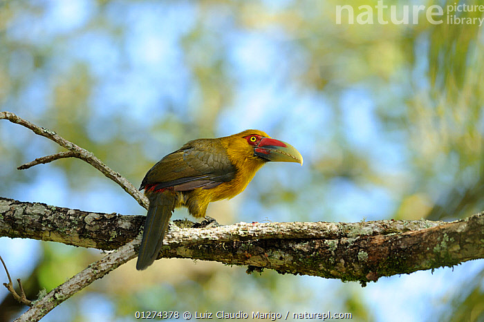 Saffron Toucanet (Pteroglossus bailloni), in the Atlantic Rainforest of Itatiaia National Park, municipality of Itatiaia, Rio de Janeiro State, Brazil.  ,  BIRDS, Brazil, COLOURFUL, NP, RESERVE, SOUTH-AMERICA, TOUCANS, VERTEBRATES,National Park  ,  Luiz Claudio Marigo
