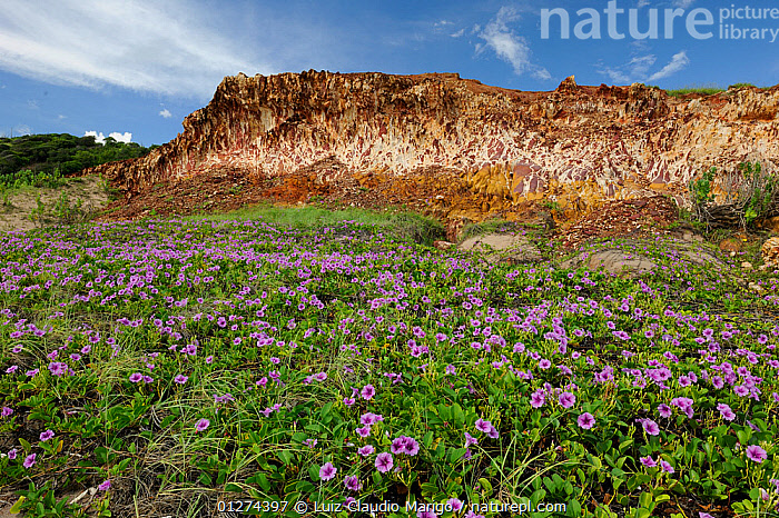 Sand dunes with flowering Beach Morning Glory (Ipomoea pescaprae) and the sea cliff of Picos Beach, municipality of Icapua�, Eastern coast of Ceara� State, Northeastern Brazil. April 2009  ,  BRAZIL,CLIFFS,COASTS,FLOWERS,LANDSCAPES,PLANTS,SOUTH AMERICA,SOUTH-AMERICA,Geology  ,  Luiz Claudio Marigo