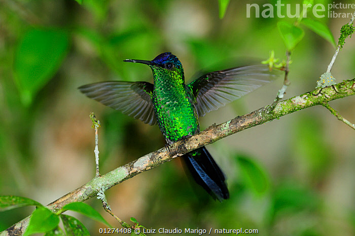 Violet-capped woodnymph (Thalurania glaucopis) stretching wings  in the Atlantic Rainforest, at Serrinha do Alambari Environmental Protection Area, municipality of Resende, Rio de Janeiro State, Southeastern Brazil.  ,  BIRDS,BRAZIL,CAMOUFLAGE,GREEN,HUMMINGBIRDS,IRRIDESCENT,SOUTH AMERICA,TROCHILIDAE,VERTEBRATES  ,  Luiz Claudio Marigo