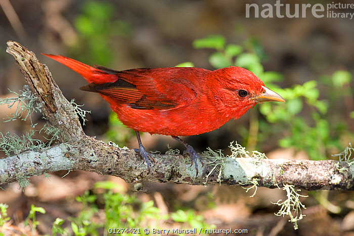 Male Summer tanager (Piranga rubra) on branch, High Island, Texas, USA  ,  BIRDS,MALES,NORTH AMERICA,RED,TANAGERS,USA,VERTEBRATES  ,  Barry Mansell