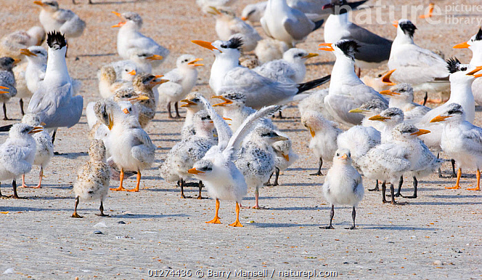 Flock of Royal Tern (Thalasseus maximus) with chicks,   Talbot Island State Park, Florida, USA  ,  BEACHES, BIRDS, CHICKS, COASTS, FAMILIES, FLOCKS, GROUPS, SEABIRDS, TERNS, USA, VERTEBRATES,North America  ,  Barry Mansell