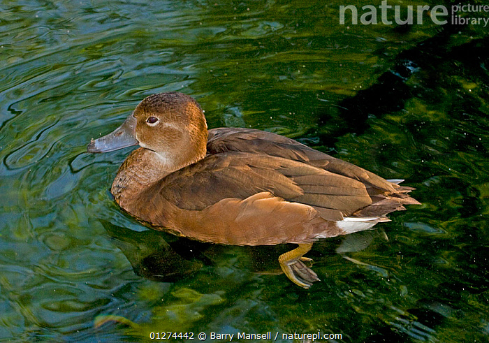 Rosy-billed Pochard (Netta peposaca) female on water, South America  ,  BIRDS,DUCKS,FEMALES,SOUTH AMERICA,VERTEBRATES,WATER,WATERFOWL  ,  Barry Mansell