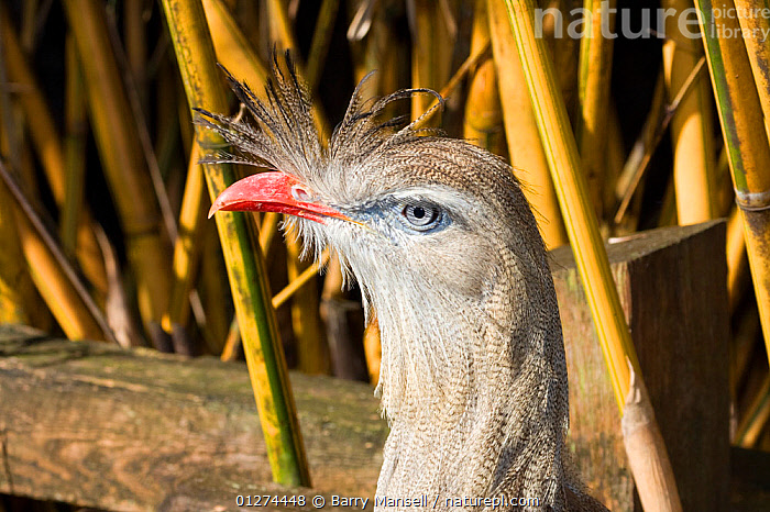 Red-legged Seriema (Cariama cristata) Captive, 