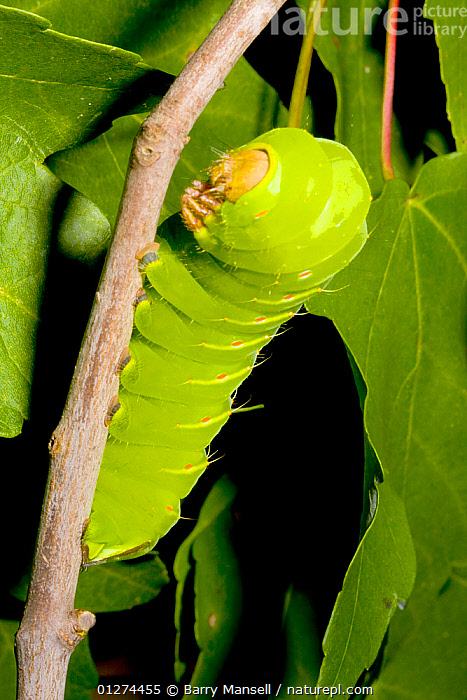 Caterpillar larva of the Polyphemus moth (Antheraea polyphemus) feeding on Maple leaves, North Florida, USA  ,  CAMOUFLAGE,FEEDING,GREEN,INSECTS,INVERTEBRATES,LARVAE,LEGS,LEPIDOPTERA,SATURNID MOTHS,USA,VERTICAL,North America  ,  Barry Mansell
