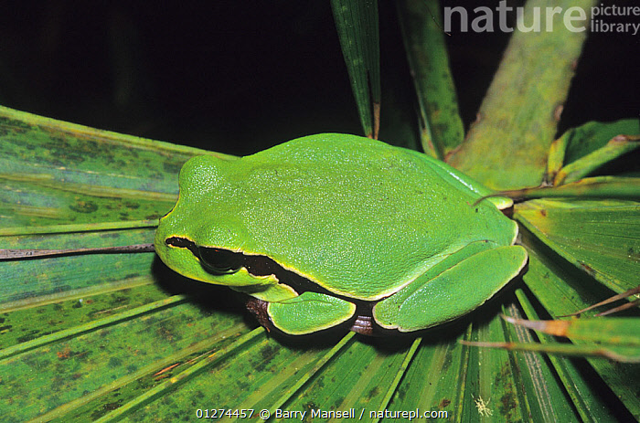 Pine Barrens Tree Frog (Hyla andersoni) female, West Florida, USA  ,  AMPHIBIANS, Anura, CAMOUFLAGE, FROGS, GREEN, TREE-FROGS, USA, VERTEBRATES,North America  ,  Barry Mansell