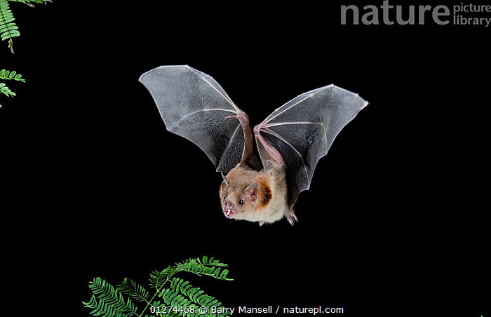 Naked-backed Bat (Pteronotus personatus) in flight at night, Tamaulipas, Mexico  ,  BATS,CENTRAL AMERICA,CHIROPTERA,FLYING,MAMMALS,NIGHT,NOCTURNAL  ,  Barry Mansell