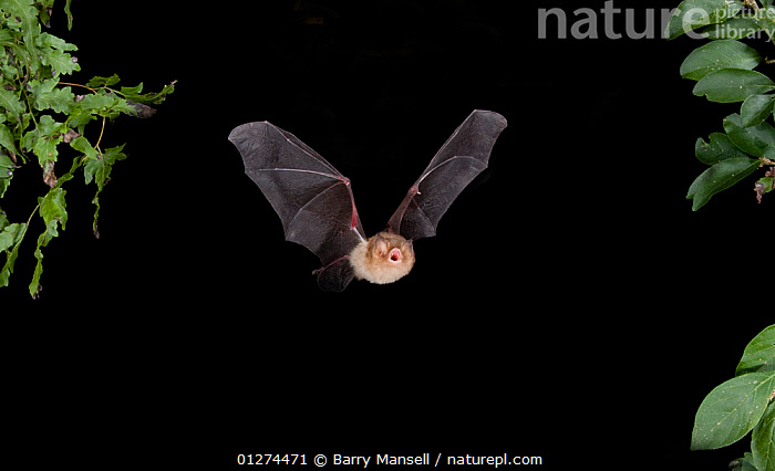 Naked backed / Moustached Bat (Pteronotus parnellii) in flight at night, Tamaullipas, Mexico  ,  BATS,CENTRAL AMERICA,CHIROPTERA,FLYING,MAMMALS,MOUSTACHED BAT,NOCTURNAL,VERTEBRATES  ,  Barry Mansell