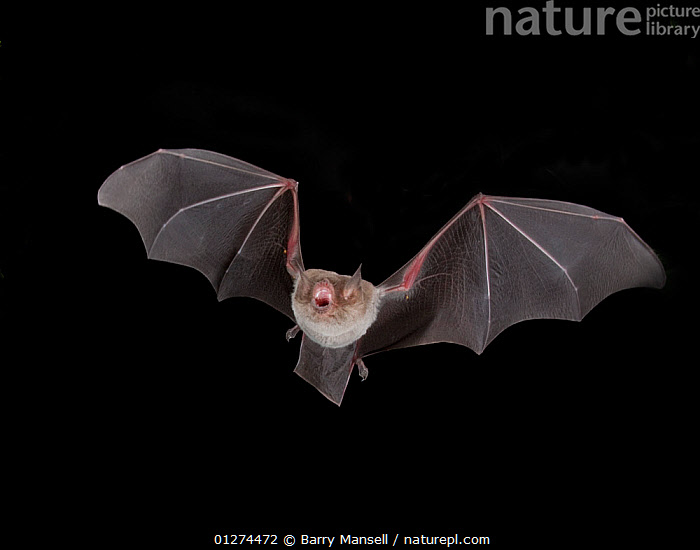 Naked backed / Moustached Bat (Pteronotus personatus) in flight at night, Tamaullipas, Mexico  ,  BATS,CENTRAL AMERICA,CHIROPTERA,FLYING,MAMMALS,MOUSTACHED BAT,NIGHT,NOCTURNAL  ,  Barry Mansell