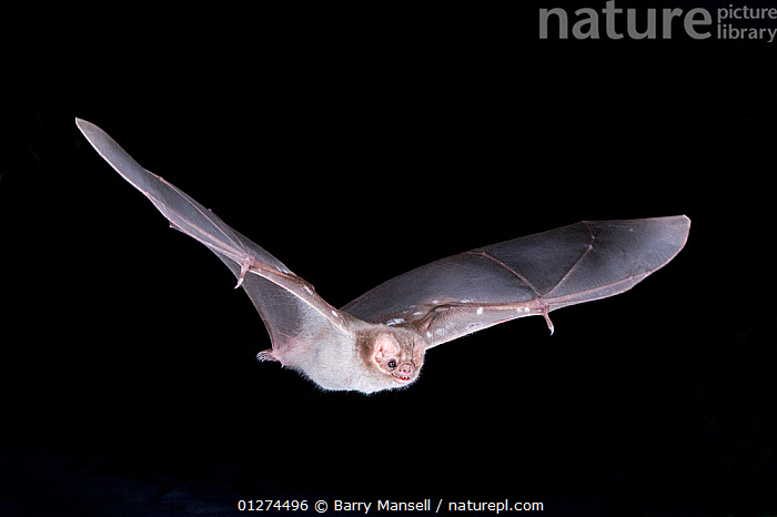 Hairy-legged Vampire Bat (Diphylla ecaudata) in flight at night, Nauvo Leon , South East Mexico, January  ,  BATS,CENTRAL AMERICA,CHIROPTERA,FLYING,MAMMALS,NIGHT,NOCTURNAL,PORTRAITS,VERTEBRATES  ,  Barry Mansell