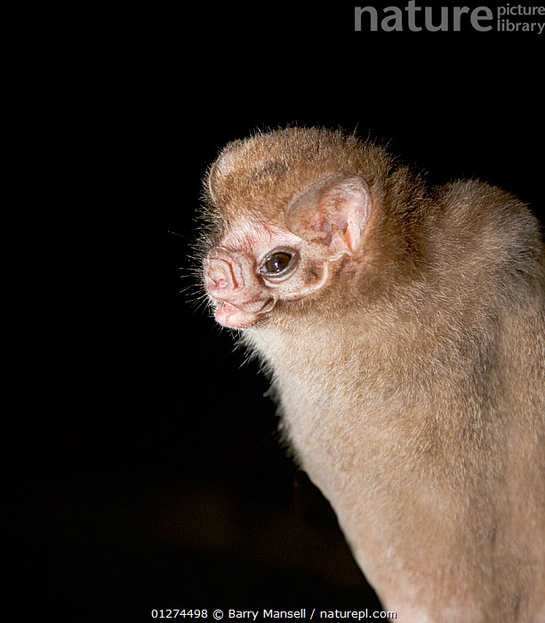 Hairy-legged Vampire Bat (Diphylla ecaudata) portrait, Tampaulipas, Mexico  ,  BATS,CENTRAL AMERICA,CHIROPTERA,FACES,MAMMALS,NIGHT,NOCTURNAL,PORTRAITS,UGLY,VERTEBRATES,VERTICAL  ,  Barry Mansell