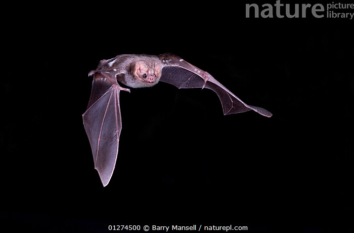Hairy-legged Vampire Bat (Diphylla ecaudata) in flight at night, Tampaulipas, Mexico  ,  BATS,CENTRAL AMERICA,CHIROPTERA,CLAWS,FLYING,MAMMALS,NIGHT,NOCTURNAL,VERTEBRATES  ,  Barry Mansell