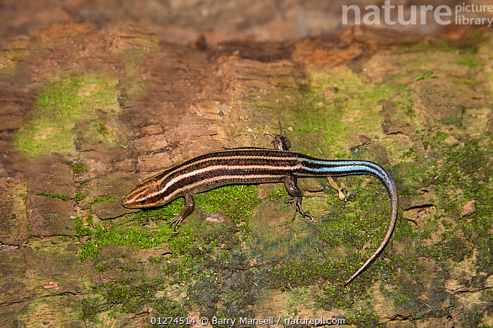 Five lined skink (Eumeces fasciatus) on tree trunk, Florida, USA  ,  HIGH-ANGLE-SHOT, LINES, LIZARDS, NORTH-AMERICA, REPTILES, SKINKS, STRIPES, USA, VERTEBRATES, Wood,North America  ,  Barry Mansell