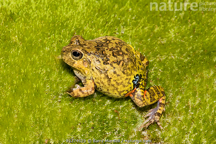 Colombian four eyed frog (Pleurodema brachyops) on moss, captive, from South America  ,  AMPHIBIANS,ANURA,FROGS,LEPTODACTYLIDAE,MOSS,VERTEBRATES  ,  Barry Mansell