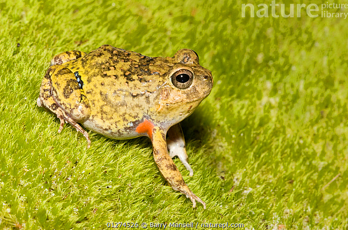 Colombian four eyed frog (Pleurodema brachyops) on moss, captive, from South America  ,  AMPHIBIANS,ANURA,FROGS,LEPTODACTYLIDAE,PORTRAITS,VERTEBRATES  ,  Barry Mansell