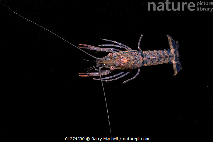 Female Crayfish (Cambarellus / Panicambarus blacki) found in a small pond, Escambia county, West Florida, USA  ,  CRAWFISH,CRAYFISH,CRUSTACEANS,CUTOUT,ENDANGERED,FEMALES,FRESHWATER,INVERTEBRATES,NORTH AMERICA,USA  ,  Barry Mansell