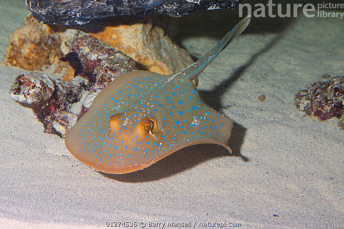 Blue spotted stingray (Neotrygon kuhlii) swimming over seabed, Red Sea  ,  CHONDRICHTHYES, FISH, MARINE, RAYS, RED-SEA, SPOTS, TROPICAL, UNDERWATER, VERTEBRATES  ,  Barry Mansell