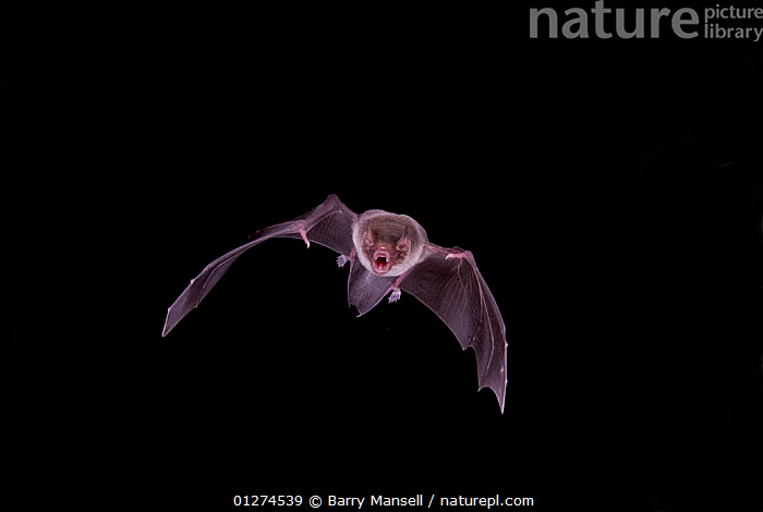 Naked backed / Moustached / Leaf-lipped bat (Pteronotus personatus) in flight with mouth open, Tamaulipas, Mexico  ,  BATS,CENTRAL AMERICA,CHIROPTERA,CUTOUT,FLYING,MAMMALS,MEXICO,MOUTHS,NIGHT,WINGS  ,  Barry Mansell