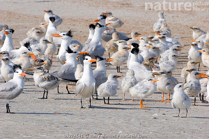 Royal terns (Thalasseus maximus) adults and chicks, on beach, Talbot Island State Park, North Florida, USA  ,  BABIES, BEACHES, BIRDS, CHICKS, FLOCKS, GROUPS, NORTH-AMERICA, SEABIRDS, TERNS, USA, VERTEBRATES,North America  ,  Barry Mansell