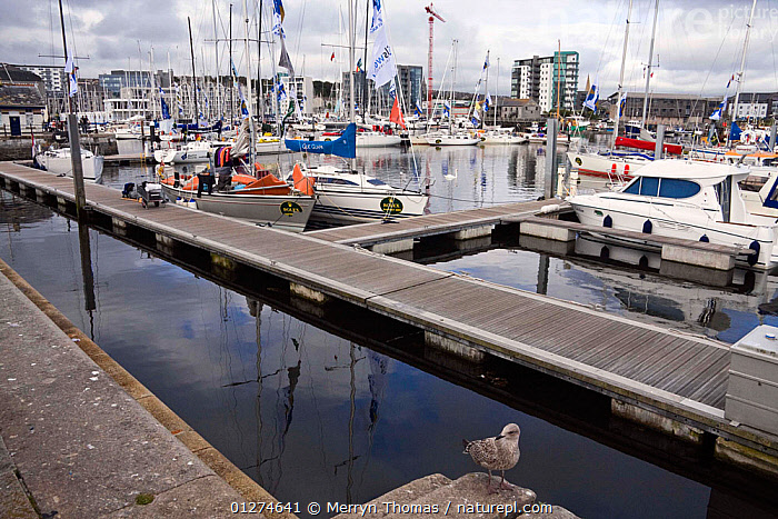 Yachts moored in the Barbican Harbour, Plymouth, after the Rolex Fastnet Race, August 2009.  ,  CITIES,COASTS,EUROPE,GULLS,LANDSCAPES,MARINAS,SAILING BOATS,UK,YACHTS, United Kingdom,BOATS  ,  Merryn Thomas
