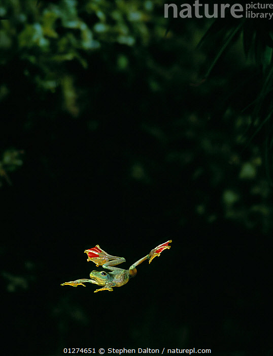 Jade flying frog (Rhacophorus dulitensis} gliding between trees, controlled conditions, from Asia  ,  AMPHIBIANS,Anura,ASIA,BEHAVIOUR,FLYING,FROGS,high speed,INTERESTING,MOVEMENT,TREE FROGS,VERTEBRATES , Captive  ,  Stephen Dalton