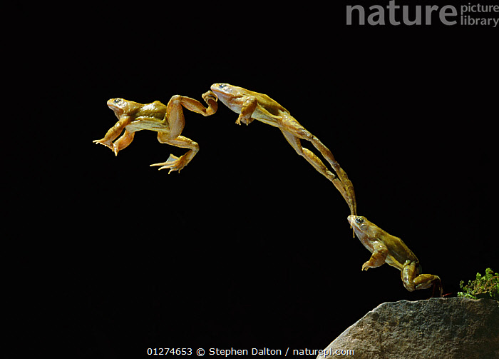 Common frog (Rana temporaria) jumping sequence, multiflash image, UK, controlled conditions  ,  ACTION,AMPHIBIANS,Anura,BEHAVIOUR,EUROPE,FROGS,high speed,JUMPING,MOVEMENT,mult flash,SEQUENCE,UK,VERTEBRATES, United Kingdom , Captive  ,  Stephen Dalton