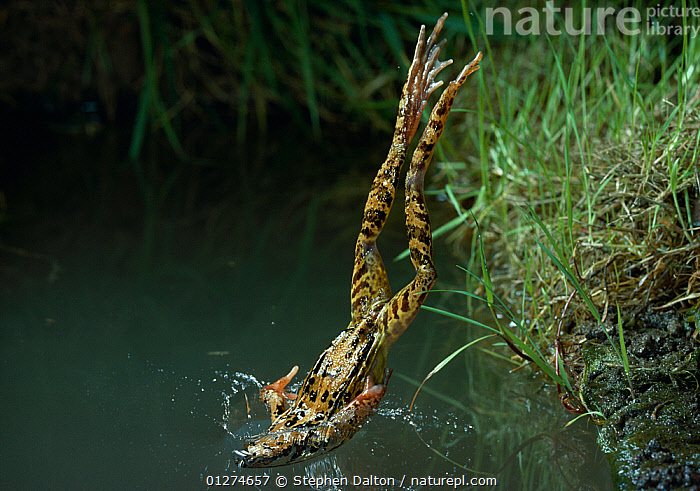 Common frog {Rana temporaria} diving into water from bank, UK, controlled conditions  ,  ACTION,agility,AMPHIBIANS,animals in the wild,Anura,BEHAVIOUR,CATALOGUE2,controlled condition,DIVING,FRESHWATER,FROGS,Grass,Impact,JUMPING,LEAPING,nature,Nobody,one animal,outdoors,Riverbank,splashing,TEMPERATE,UK,upside down,VERTEBRATES,VERTICAL,WATER,WILDLIFE,Plants,Europe,United Kingdom, Captive  ,  Stephen Dalton