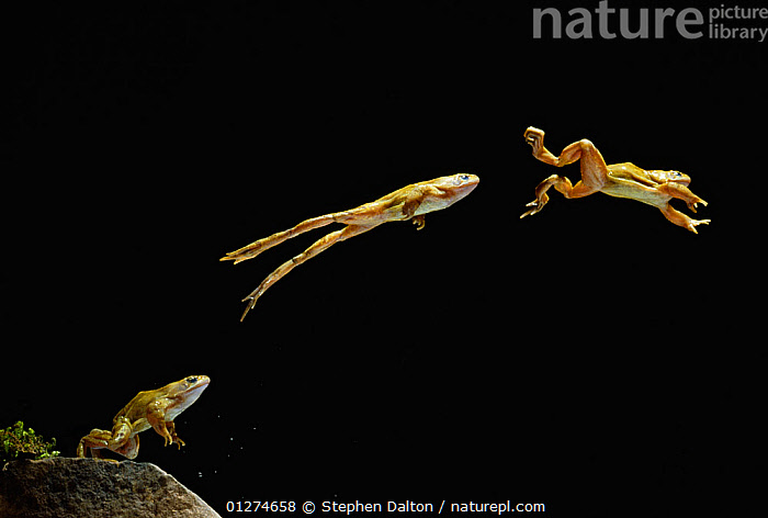 Common frog (Rana temporaria) jumping sequence, multiflash image, UK, controlled conditions  ,  ACTION,AMPHIBIANS,Anura,BEHAVIOUR,EUROPE,FROGS,high speed,JUMPING,LEAPING,MOVEMENT,mulit flash,THREE,UK,VERTEBRATES, United Kingdom , Captive  ,  Stephen Dalton