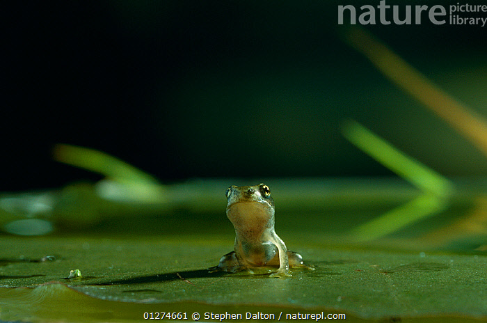 Common frog {Rana temporaria} froglet sitting on lily pad in water, UK  ,  alert,AMPHIBIANS,animal behaviour,animals in the wild,Anura,BABIES,CATALOGUE2,close up,CLOSE UPS,CUTE,EUROPE,FROGS,front view,GREEN,LEAVES,lily pad,nature,Nobody,one animal,outdoors,pond,SITTING,UK,VERTEBRATES,WATER,WATER LILIES,WILDLIFE,wondering,young aninal,United Kingdom  ,  Stephen Dalton