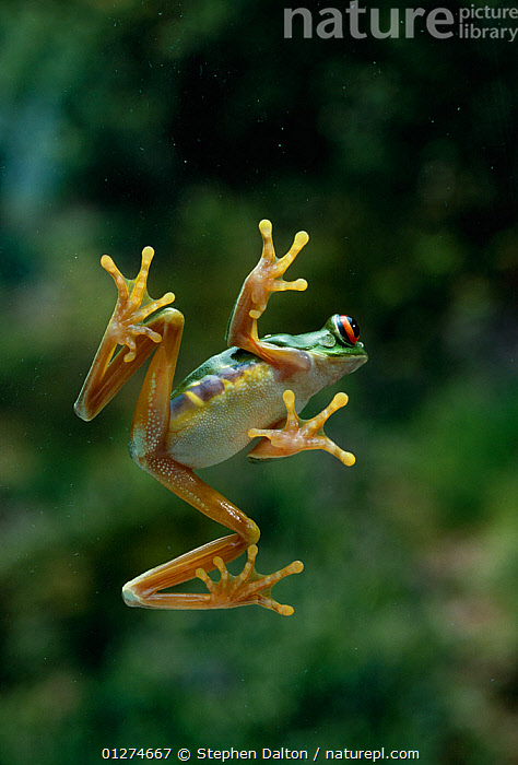 Red-eyed tree frog {Agalychnis callidryas} leaping, viewed from below, controlled conditions, from Central America  ,  ACTION,AMPHIBIANS,Anura,BEHAVIOUR,FEET,FROGS,high speed,JUMPING,LOW ANGLE SHOT,MOVEMENT,TREE FROGS,VERTEBRATES,VERTICAL , Captive  ,  Stephen Dalton
