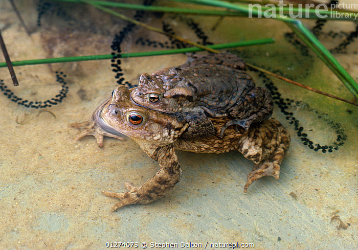 Common european toads (Bufo bufo) pair in amplexus with strings of toad spawn, UK  ,  AMPHIBIANS,ANURA,EGGS,EUROPE,FRESHWATER,MALE FEMALE PAIR,MATING BEHAVIOUR,TEMPERATE,TOADS,UK,VERTEBRATES, United Kingdom  ,  Stephen Dalton