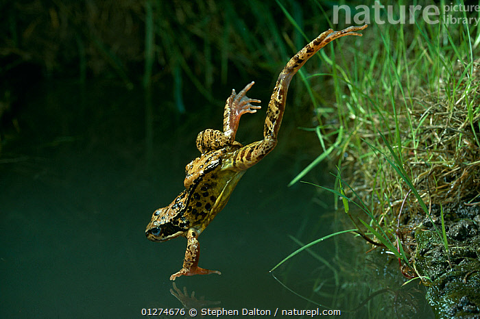 Common frog (Rana temporaria) leaping into water from bank, controlled conditions, UK  ,  ACTION,AMPHIBIANS,Anura,BEHAVIOUR,FROGS,high speed,JUMPING,MOVEMENT,VERTEBRATES,VERTICAL,WATER,Europe, United Kingdom , Captive  ,  Stephen Dalton