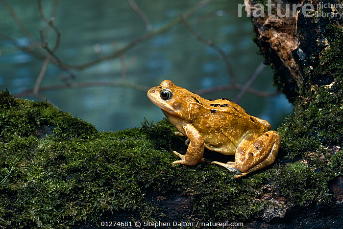 Common frog {Rana temporaria} sitting beside pond, UK, controlled conditions  ,  AMPHIBIANS,Anura,EUROPE,FROGS,PONDS,PORTRAITS,PROFILE,UK,VERTEBRATES,WATER, United Kingdom , Captive  ,  Stephen Dalton