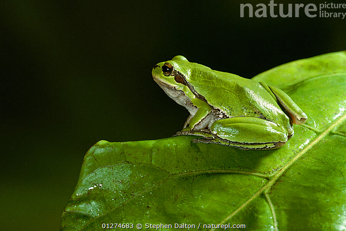 Common tree frog {Hyla arborea} camouflaged on  green leaf, controlled conditions, from Europe  ,  AMPHIBIANS,Anura,CAMOUFLAGE,EUROPE,FROGS,GREEN,LEAVES,TREE FROGS,VERTEBRATES , Captive  ,  Stephen Dalton