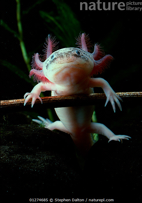 Mexican axolotl {Ambystoma mexicanum} albino, controlled conditions  ,  ALBINO,AMPHIBIANS,bizarre,CATALOGUE2,close up,CLOSE UPS,controlled condition,CUTE,ENDANGERED,FRESHWATER,front view,full length,gills,LIMBS,Nobody,one animal,outdoors,PINK,PORTRAITS,quirky,SALAMANDERS,SMILING,UNDERWATER,VERTEBRATES,VERTICAL,WILDLIFE , Captive  ,  Stephen Dalton