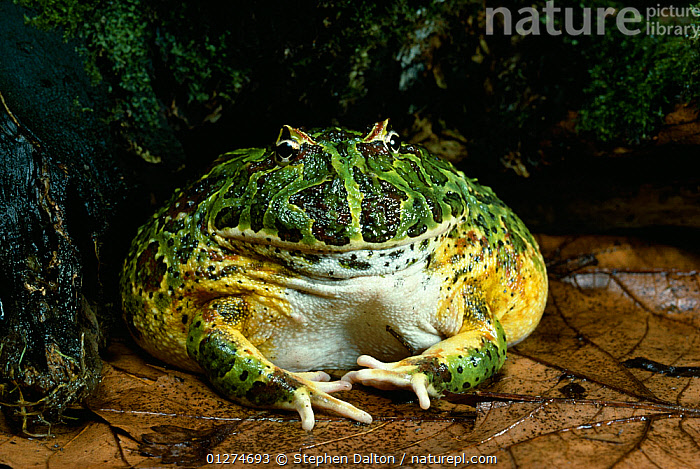 Horned frog (Ceratophrys ornata) sitting on leaves, controlled conditions, from South America, AMPHIBIANS,Anura,fat,FROGS,HUMOROUS,LEPTODACTYLID FROGS,PORTRAITS,VERTEBRATES,Concepts , Captive, Stephen Dalton
