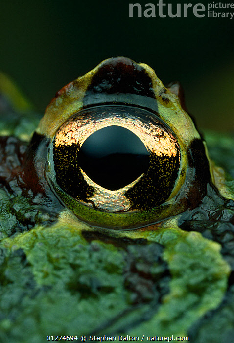 Close up of eye of Horned frog {Ceratophrys ornata} controlled conditions, from South America  ,  AMPHIBIANS,Anura,CLOSE UPS,EYES,FROGS,LEPTODACTYLID FROGS,VERTEBRATES,VERTICAL , Captive  ,  Stephen Dalton