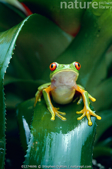 Red eyed tree frog (Agalychnis callidryas) on Bromeliad leaf, Central America, controlled conditions  ,  AMPHIBIANS,Anura,BROMELIADS,FROGS,LEAVES,PLANTS,PORTRAITS,SITTING,TREE FROGS,VERTEBRATES,VERTICAL , Captive  ,  Stephen Dalton
