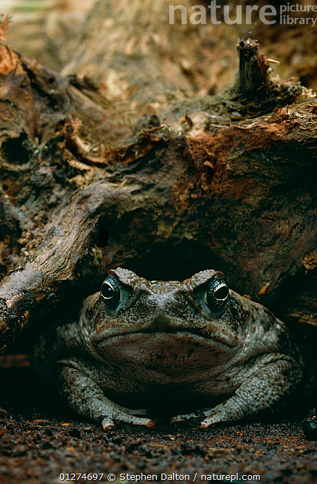 Giant / Cane toad {Bufo marinus} controlled conditions, from South America  ,  AMPHIBIANS, Anura, TOADS, VERTEBRATES, VERTICAL  ,  Stephen Dalton