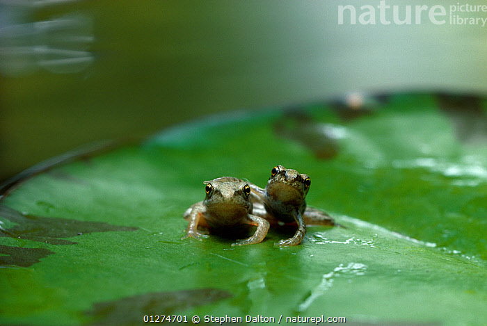 Common frog {Rana temporaria} two froglets sitting on lily pad, UK  ,  AMPHIBIANS,ANURA,BABIES,CUTE,FRESHWATER,FRIENDSHIP,FROGS,PONDS,TEMPERATE,TWO,UK,VERTEBRATES,WATER LILIES,Concepts,Europe, United Kingdom  ,  Stephen Dalton