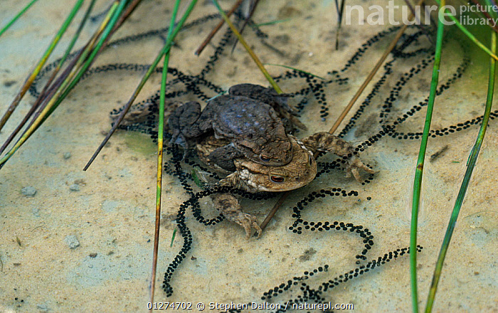 Common european toad {Bufo bufo} pair in amplexus with ribbons of toad spawn, UK  ,  AMPHIBIANS,ANURA,EGGS,EUROPE,FRESHWATER,MALE FEMALE PAIR,MATING BEHAVIOUR,REPRODUCTION,TEMPERATE,TOADS,UK,UNDERWATER,VERTEBRATES, United Kingdom  ,  Stephen Dalton