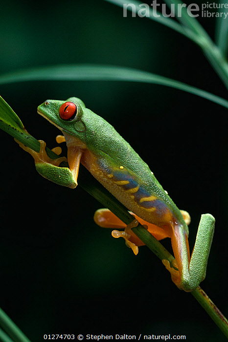 Red-eyed tree frog {Agalychnis callidryas} climbing up plant, controlled conditions, from Central America  ,  AMPHIBIANS,Anura,BEHAVIOUR,FROGS,MOVEMENT,PROFILE,TREE FROGS,VERTEBRATES,VERTICAL , Captive  ,  Stephen Dalton