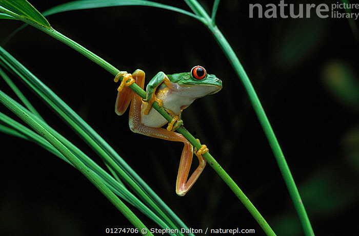 Red-eyed tree frog {Agalychnis callidryas} on vegetation, controlled conditions, from Central America  ,  AMPHIBIANS,Anura,FROGS,LEGS,PORTRAITS,TREE FROGS,VERTEBRATES , Captive  ,  Stephen Dalton