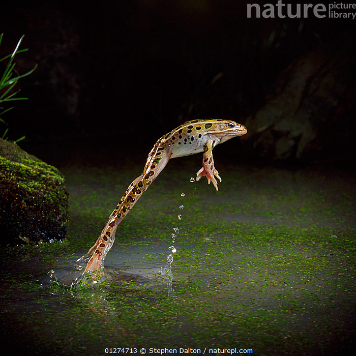 Leopard frog (Rana pipiens) leaping from water, controlled conditions, from USA  ,  ACTION, AMPHIBIANS, Anura, BEHAVIOUR, FRESHWATER, FROGS, high-speed, JUMPING, MOVEMENT, USA, VERTEBRATES, VERTICAL,North America  ,  Stephen Dalton