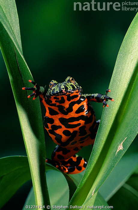 Oriental fire-bellied toad (Bombina orientalis), controlled conditions  ,  AMPHIBIANS,Anura,COLOURFUL,EUROPE,FIRE BELLIED TOADS,ORANGE,RED,TOADS,VERTEBRATES,VERTICAL , Captive  ,  Stephen Dalton