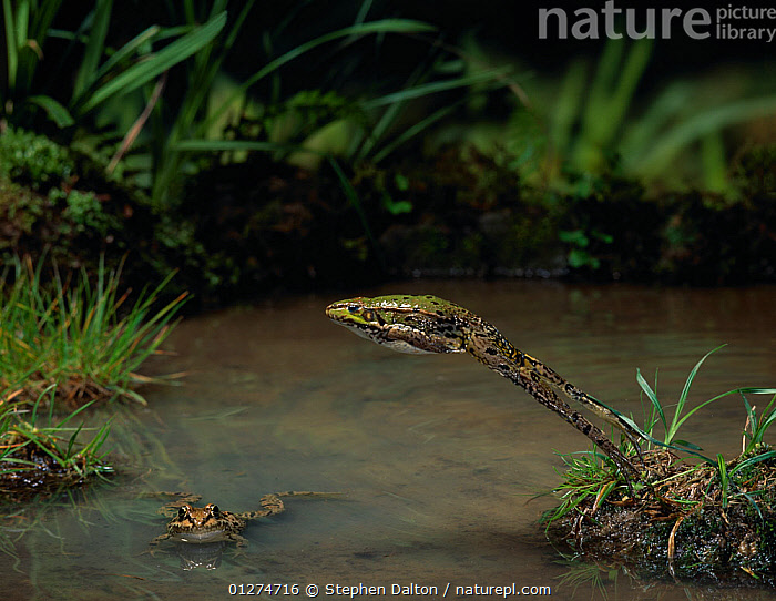 Marsh frog (Rana ridibunda) leaping over water, another in water, controlled conditions, from Europe  ,  ACTION, AMPHIBIANS, Anura, EUROPE, FRESHWATER, FROGS, HABITAT, high-speed, JUMPING, LEAPING, MOVEMENT, two, VERTEBRATES, WATER  ,  Stephen Dalton